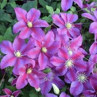 Clematis Sunset